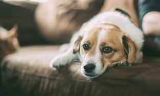 Acetominophen Toxicity In Dogs