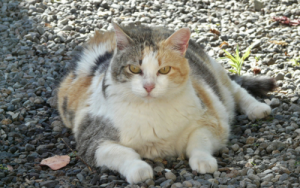 Obese cat with diabetes