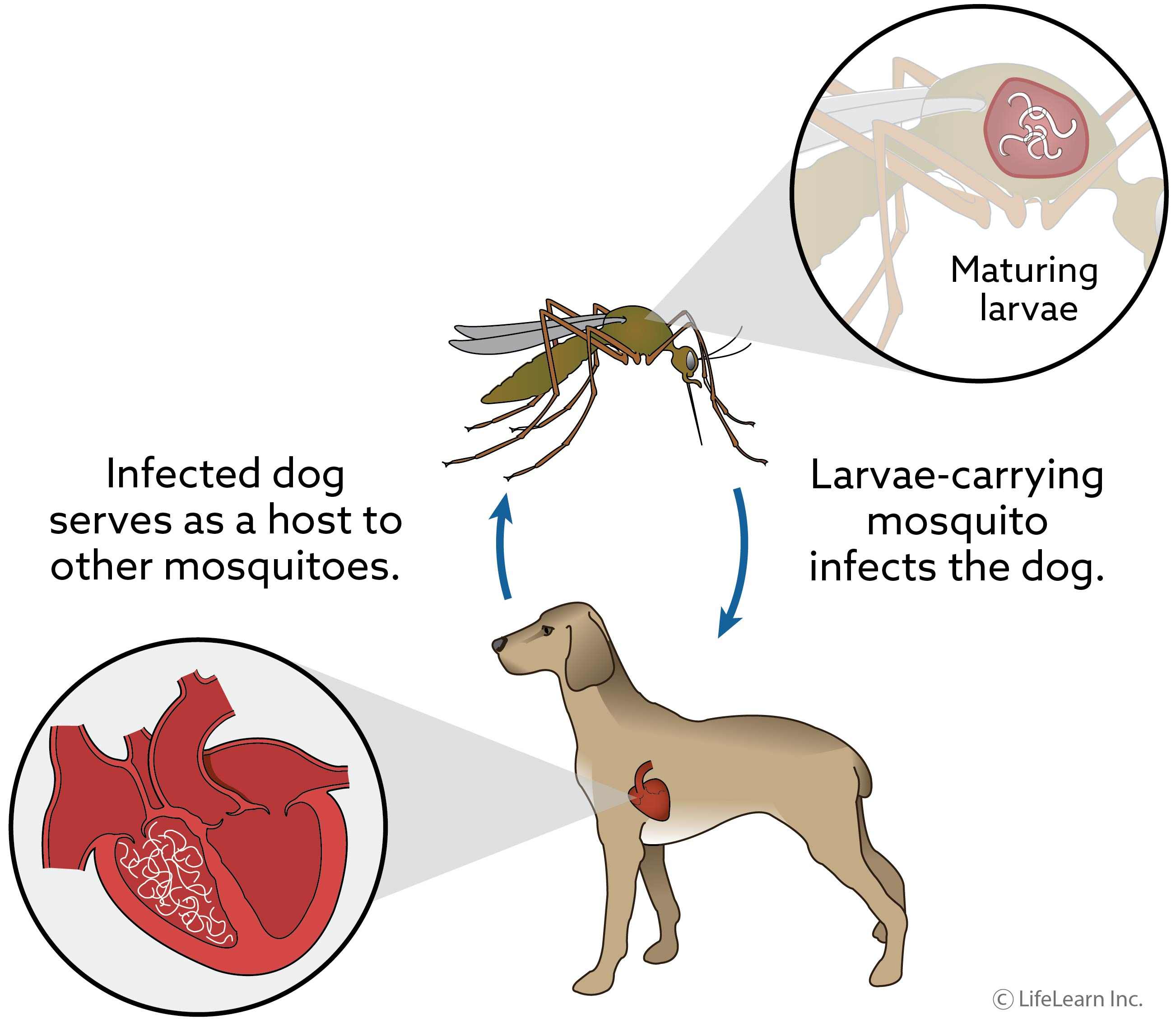 Heartorm Disease in Dogs